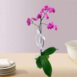 Pembe Falenopsis Orkide